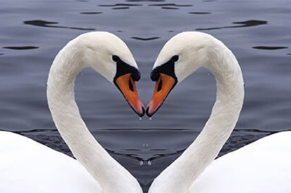 Swan Heart Shape